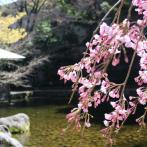 大田黒公園の桜の様子