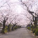 見事な桜並木(写真提供:築地本願寺和田堀廟所)