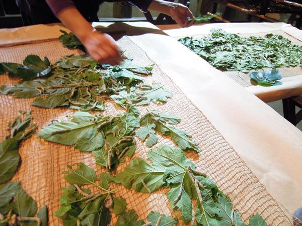 古くなった葉や糞の掃除をする「給桑」