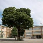 杉六小のかしの大木