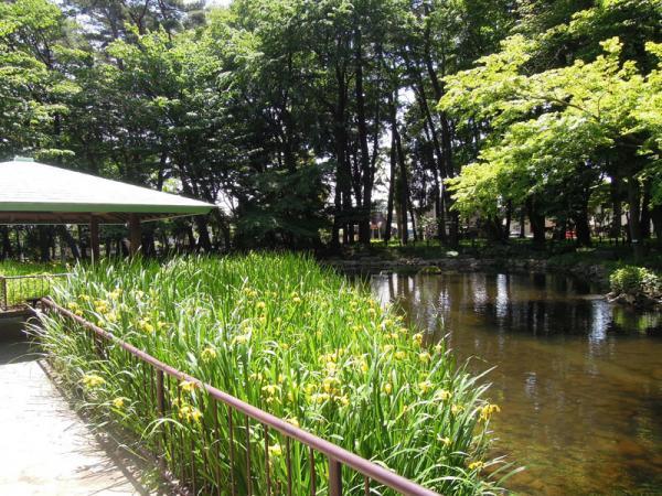 キショウブが見ごろを迎えた5月の池