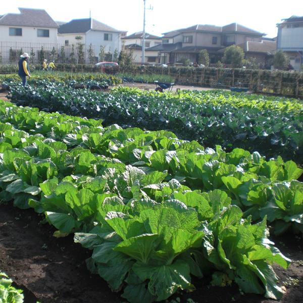 成田西ふれあい農業公園に広がる野菜畑。手前から白菜、ブロッコリー、大根