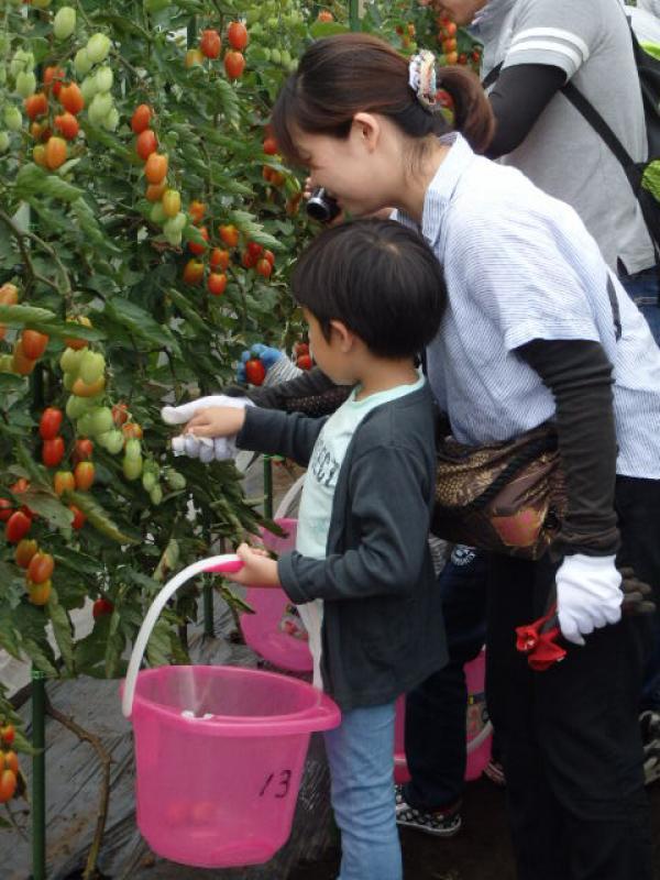 親子でミニトマトの収穫体験(写真提供:都市農業係)