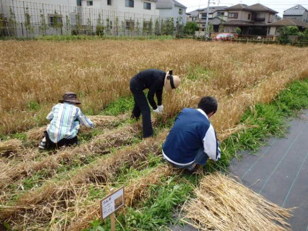 区内では珍しい麦刈りも体験できる(写真提供:都市農業係)