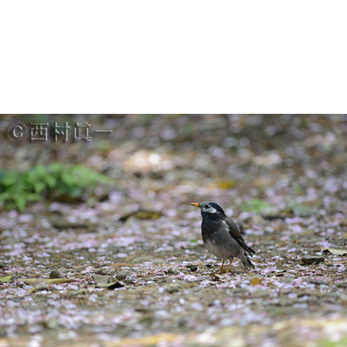 ムクドリの画像 p1_31